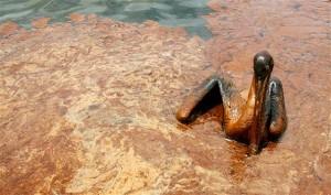 Pelican in BP Oil